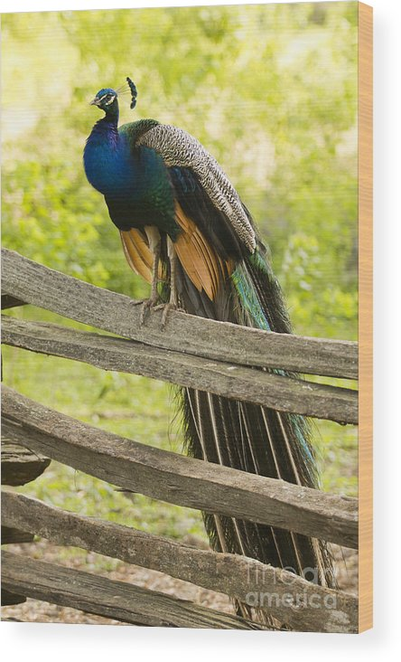 Peacock On Fence Wood Print featuring the photograph Peacock On Fence by Dustin K Ryan