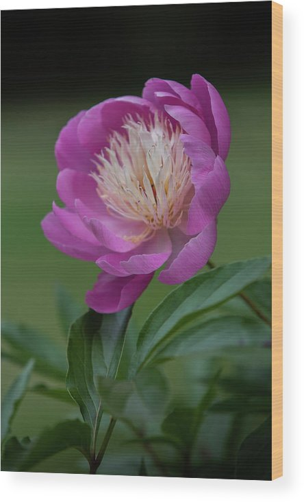 Garden Wood Print featuring the photograph Peony by Steve Gravano