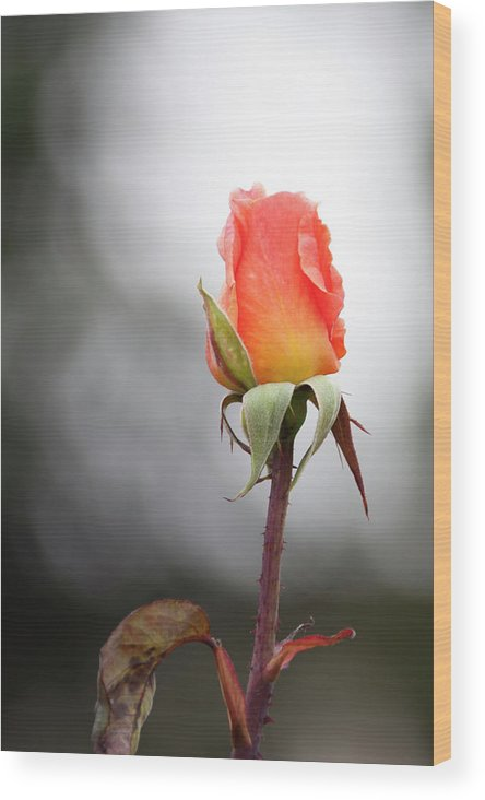 Los Angeles Wood Print featuring the photograph Perfect Rose by Lawrence Drake