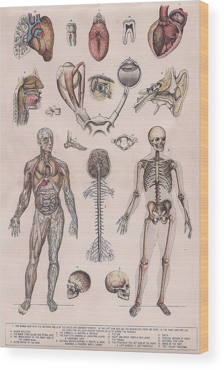 Human Wood Print featuring the drawing Physiology, Diagrams Of The Human Body by Victorian Engraver