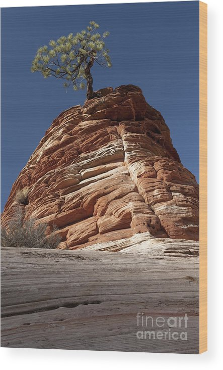 Pinyon Pine Wood Print featuring the photograph Pine Tree On Sandstone by Sandra Bronstein