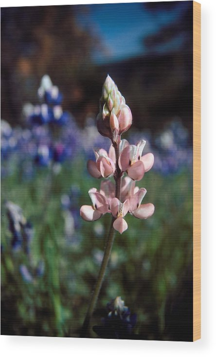 Flower Wood Print featuring the photograph Pink Lupine Figueroa Mountain by Brian Lockett