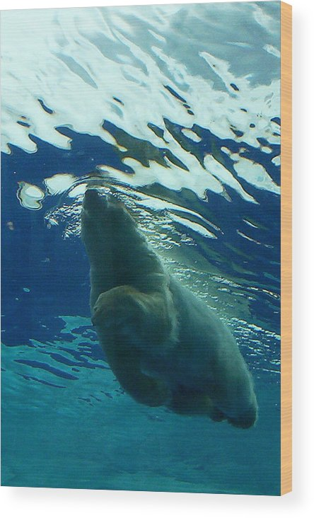 Polar Bear Wood Print featuring the photograph Polar Swim by Jennifer Englehardt