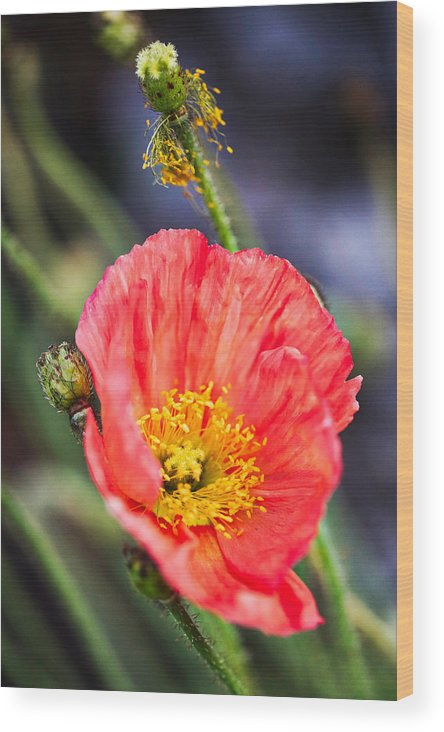 Agriculture Wood Print featuring the photograph Poppy Flower by Fornalczyk Aleksandra