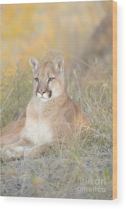 Mountain Lion Wood Print featuring the photograph Portrait Of A Mountain Lion by Dennis Hammer