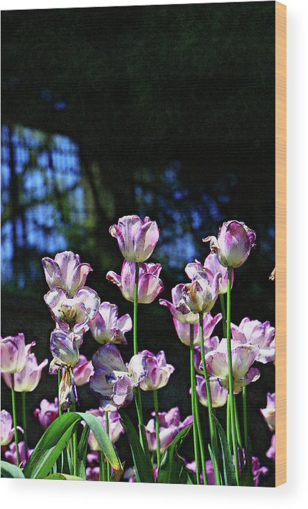 Background Wood Print featuring the photograph Purple And White Tulips - Photopainting by Allen Beatty