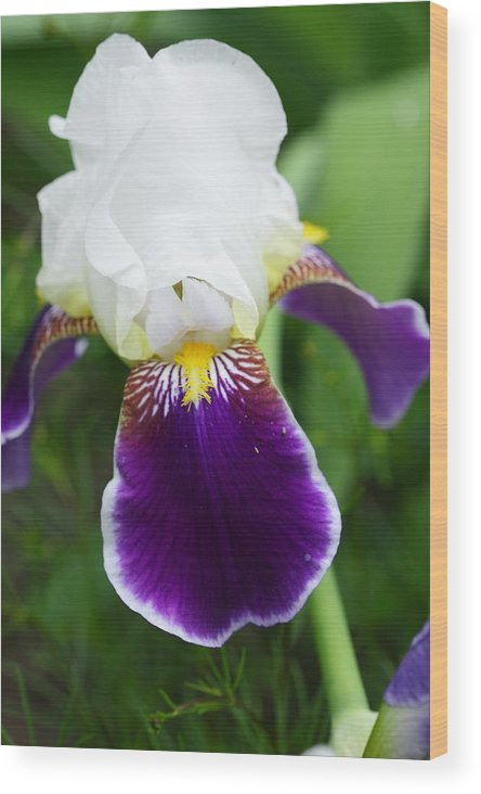 Flower Wood Print featuring the photograph Purple Beauty by Paul Slebodnick