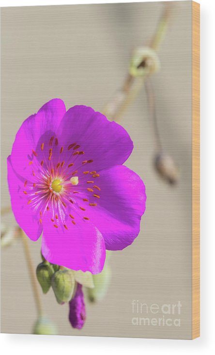 Garden Flowers Wood Print featuring the photograph Purple Bloom by David Zanzinger
