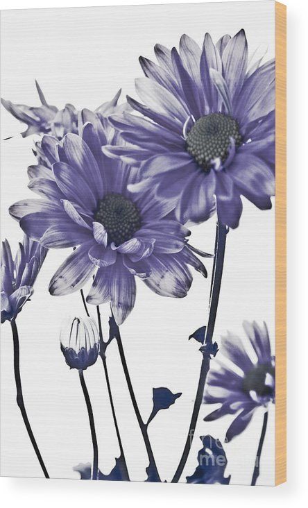 Flowers Wood Print featuring the photograph Purple Daisies by Robin Lynne Schwind