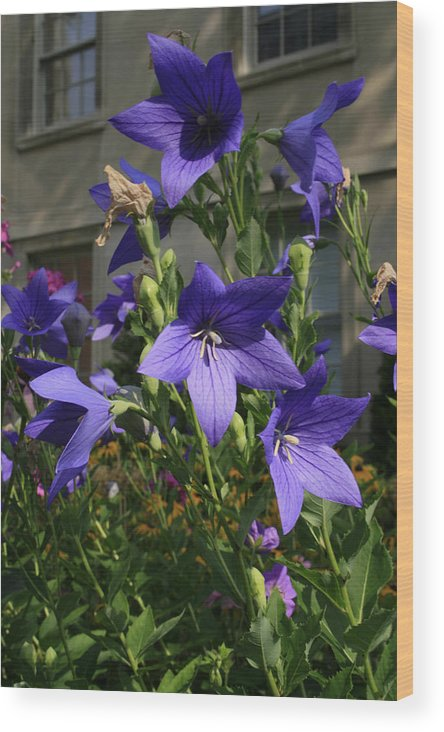 Flowers Wood Print featuring the photograph Purple Stars by Alan Rutherford