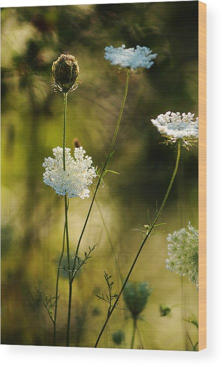 Wildflowers Wood Print featuring the photograph Queen Annes Waving by Linda McRae