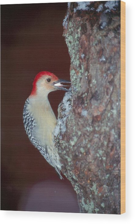 Bird Wood Print featuring the photograph Red-bellied Woodpecker by Raju Alagawadi