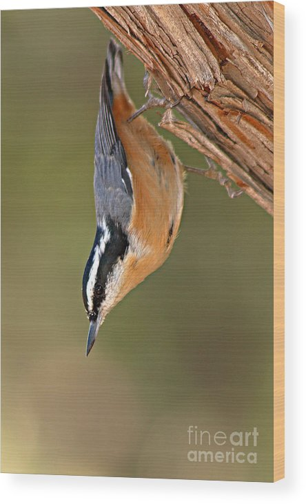 Nuthatch Wood Print featuring the photograph Red-breasted Nuthatch Upside Down by Max Allen
