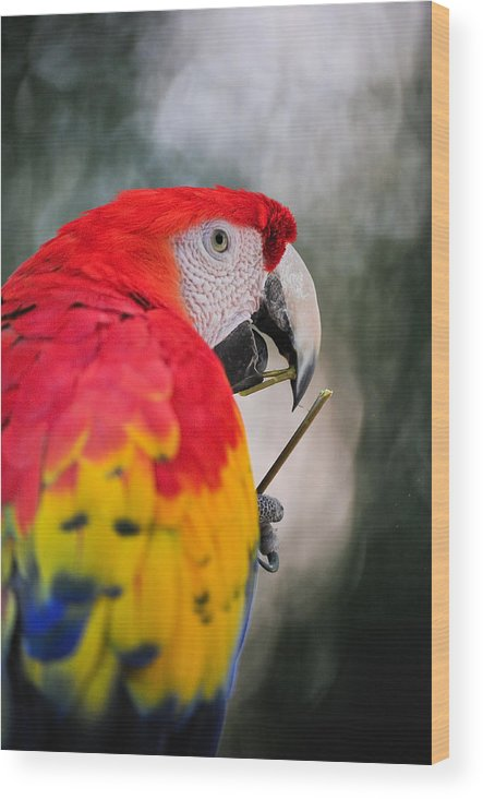 Parrot Wood Print featuring the photograph Red Parrot by Tom Dowd
