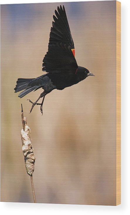 Red-winged Blackbird Wood Print featuring the photograph Red-winged Takeoff by Randall Ingalls