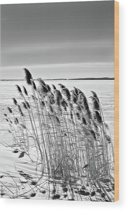 Black And White Wood Print featuring the photograph Reeds On A Frozen Lake by Peter Pauer
