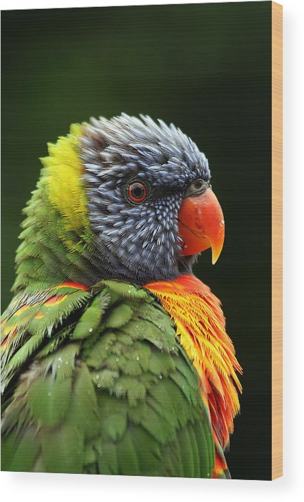 Rainbow Lorikeet Wood Print featuring the photograph Reflecting In The Rain by Lesley Smitheringale