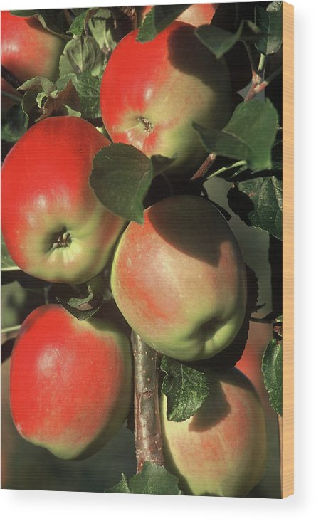 Apples Wood Print featuring the photograph Ripening Apples by Garry Hampton