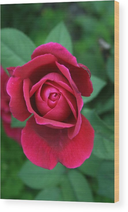 Flowers Wood Print featuring the photograph Rose Eye by Alan Rutherford
