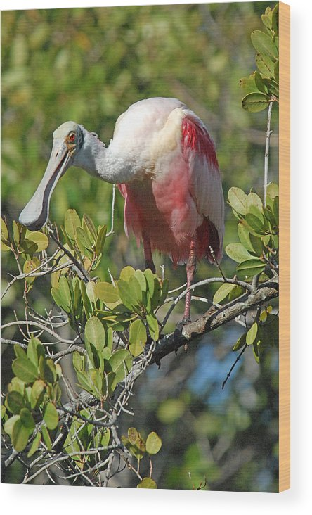 Spoonbill Wood Print featuring the photograph Roseate Spoonbill by Alan Lenk