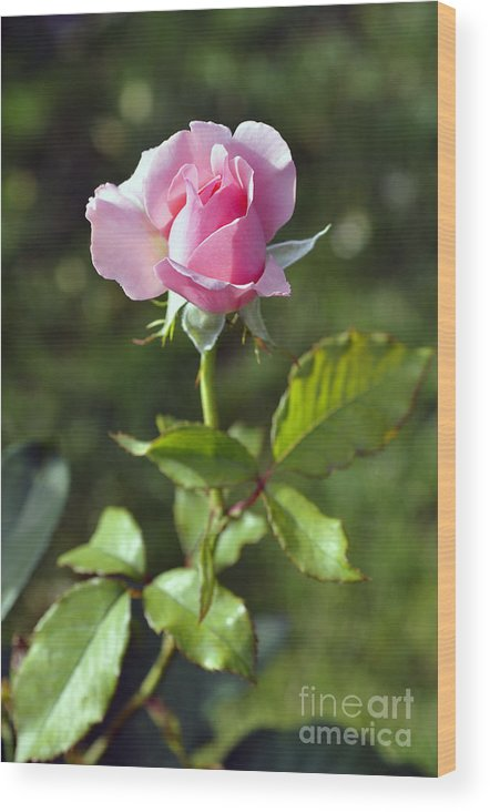 Rose Wood Print featuring the photograph Roses by LS Photography