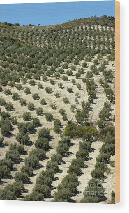 Agricultural Wood Print featuring the photograph Rows Of Olive Trees Growing In The Village Of Baena by Sami Sarkis