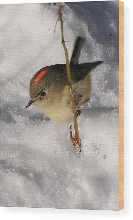 Photography Wood Print featuring the photograph Ruby-crowned Kinglet by Joel Brady-Power
