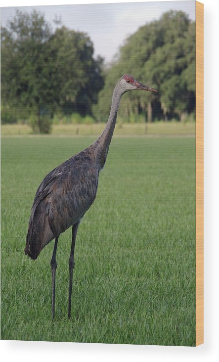 Nature Wood Print featuring the photograph Sandhill Crane by Richard Rizzo