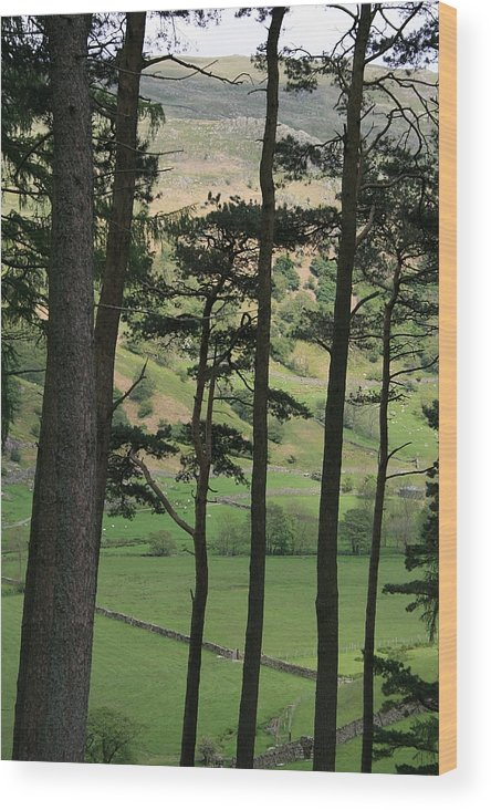 Pine Trees Wood Print featuring the photograph Scots Pine by Andy Mercer