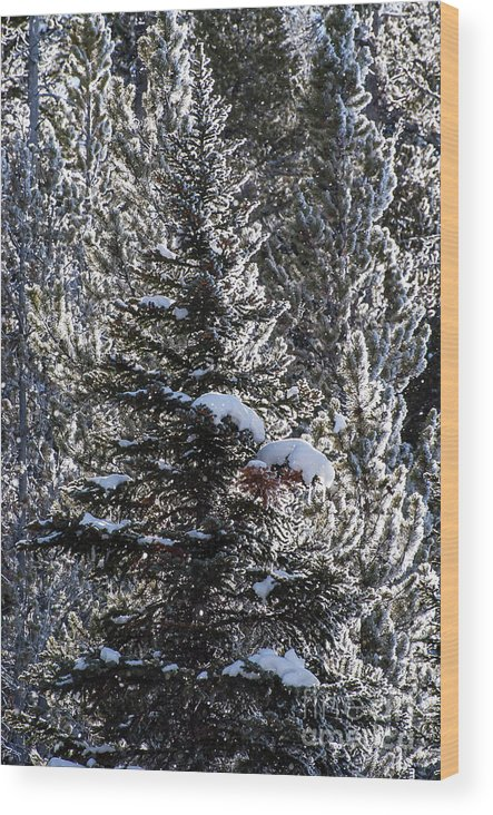 Yellowstone National Park Wood Print featuring the photograph Snow Flocked Pines One by Bob Phillips