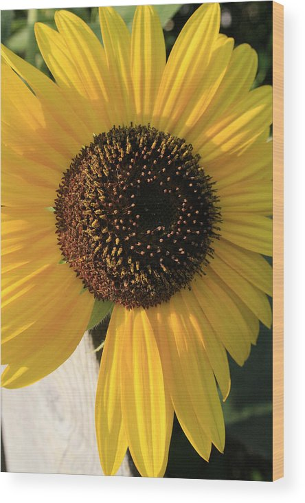 Flowers Wood Print featuring the photograph Son Of A Sun by Alan Rutherford