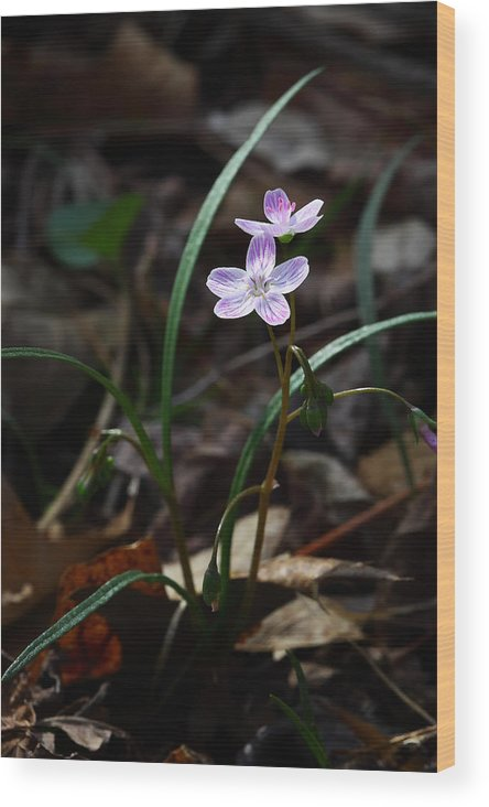 Spring Beauty Wood Print featuring the photograph Spring Beauty Wildflower On Forest Floor by Michael Dougherty