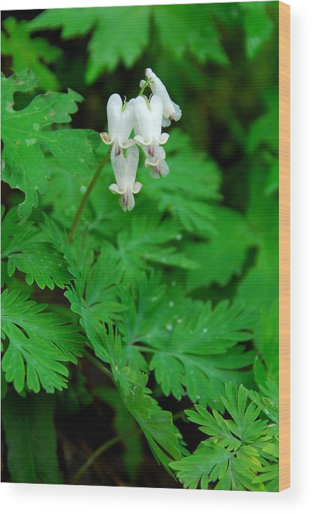 Wildflower Wood Print featuring the photograph Squirrel Corn by Alan Lenk