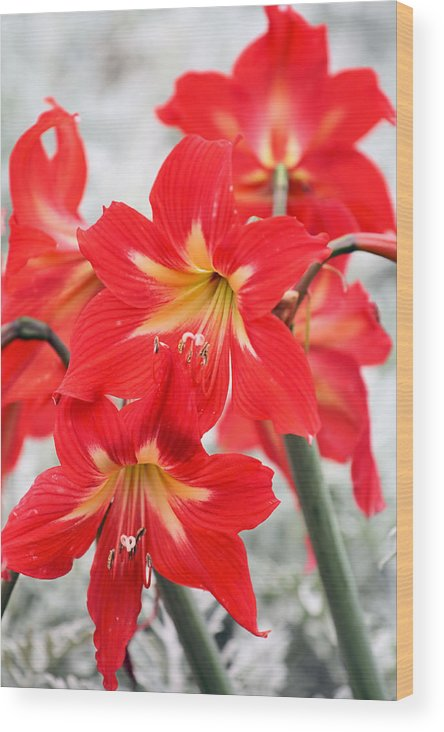 Amaryllis Wood Print featuring the photograph Standing Tall by Katherine White