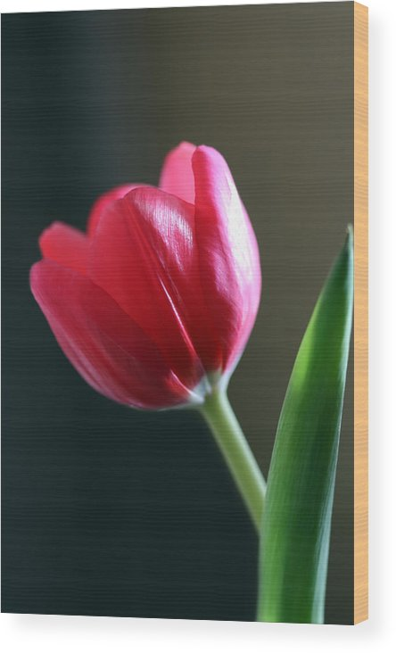 Tulip Wood Print featuring the photograph Sun Kissed Tulip I by Lesley Smitheringale
