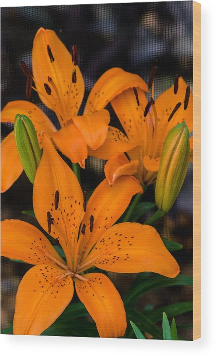 Liliaceae Wood Print featuring the photograph Three Lilies by Ed Gleichman