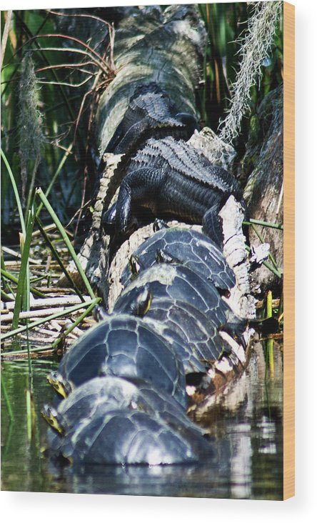 Painted Turtles Wood Print featuring the photograph Traffic Jam On Parking Log by Frank Feliciano