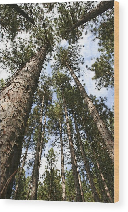 Autumn Wood Print featuring the photograph Tree Stand by Margie Wildblood
