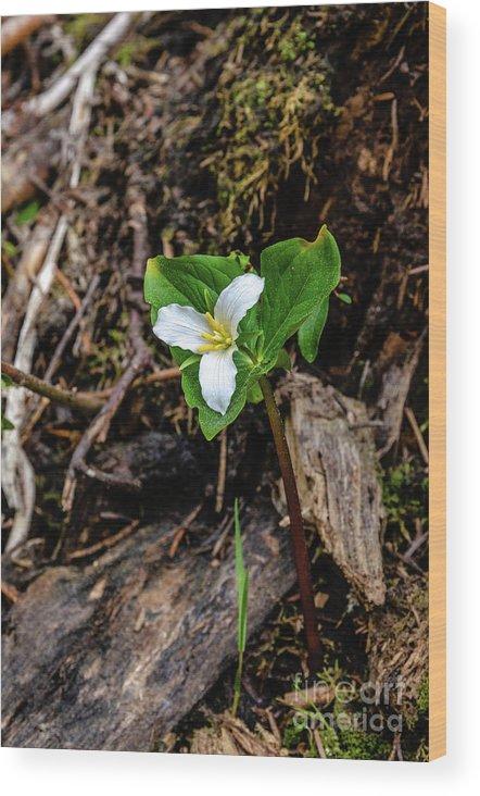 Trillium Wood Print featuring the photograph Trillium #3 by Sam Judy
