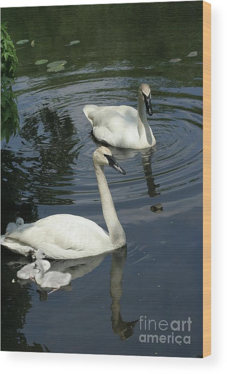 Trumpeter Swans Wood Print featuring the photograph Trumpeter Swans by Judy Whitton