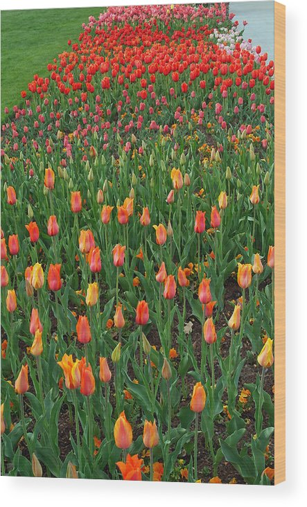 Landscape Wood Print featuring the photograph Tulip Rainbow by Christal Randolph