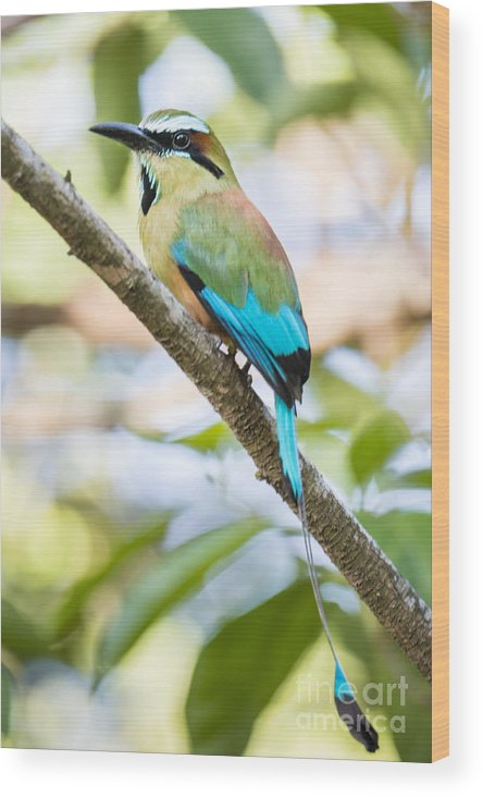 Animals In The Wild Wood Print featuring the photograph Turquoise-browed Motmot by Oscar Gutierrez