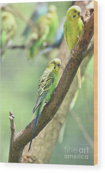 Budgie Wood Print featuring the photograph Two Beautiful Yellow Parakeets In A Tree by DejaVu Designs