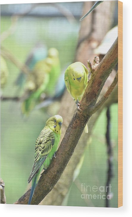 Budgie Wood Print featuring the photograph Two Cute Little Parakeets In A Tree by DejaVu Designs