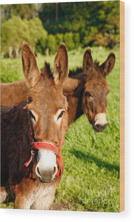 Animals Wood Print featuring the photograph Two Donkeys by Gaspar Avila