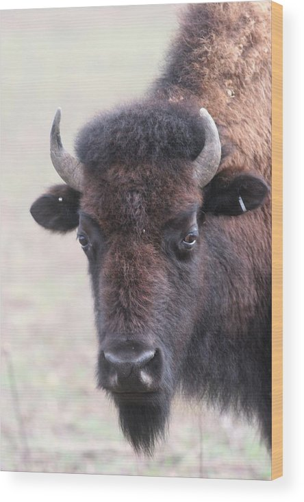 Buffalo Wood Print featuring the photograph Up Close And Personal by Lew Wescott