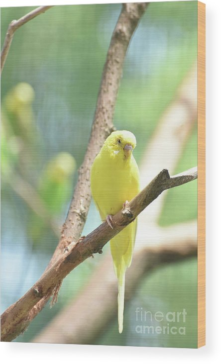 Budgie Wood Print featuring the photograph Vibrant Yellow Budgie Parakeet In The Summer by DejaVu Designs