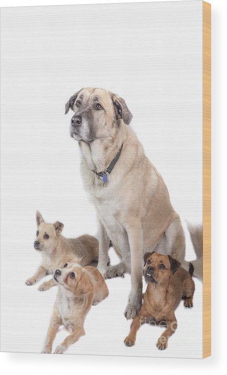 Dogs Wood Print featuring the photograph What A Group by Samuel Jokich