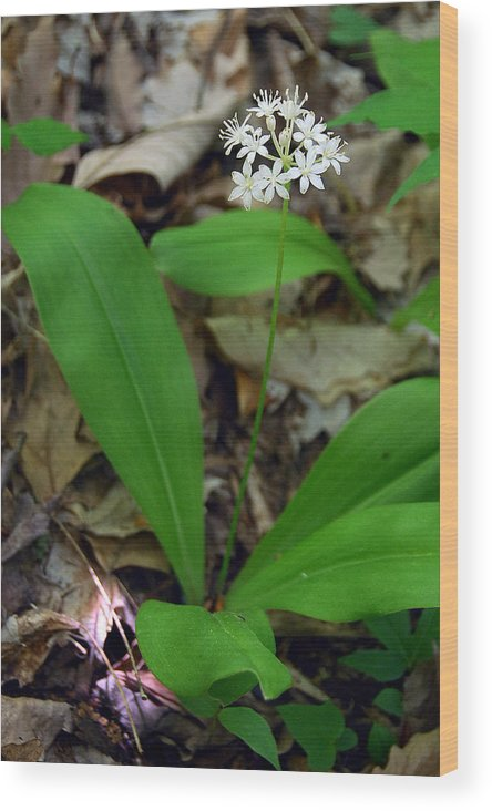 White Clintonia Wood Print featuring the photograph White Clintonia by Alan Lenk