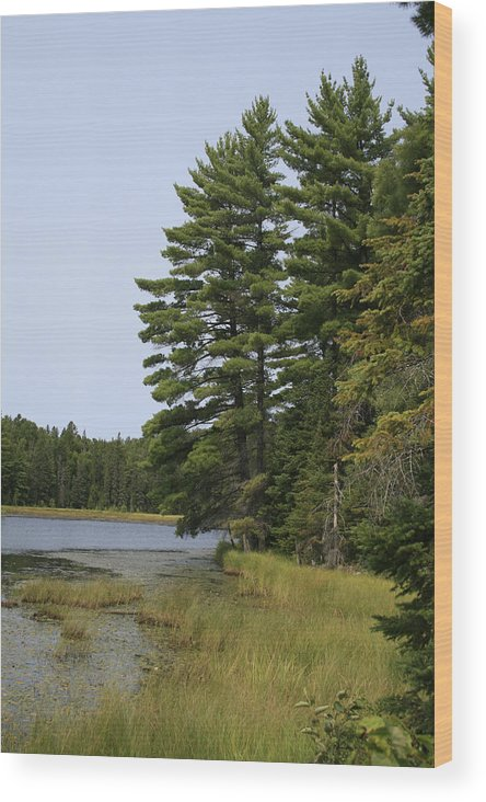 Landscape Wood Print featuring the photograph White Pines by Alan Rutherford